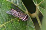 Tabanidae - Tabanus partitus ? - 10 mm - Lucena - 1.2.14 - 12.40