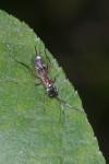 Ichneumonidae - Pimplinae -  Femelle - 10 mm - Talipanan - 22.11.2016