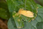 Erebidae - Lymantriinae - 13 mm - Talipanan - 22.11.2016