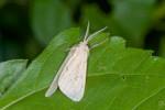 Erebidae - Arctiinae - 13 à 14 mm - Talipanan - 23.11.2016