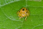 Chrysomelidae - Cassidinae - Aspidomorpha - 6 mm - Talipanan - 23.11.2016