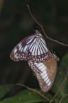 Nymphalidae - Satyrinae - Zethera pimplea - Couple - 60 à 70 mm envergure - Talipanan - 22.11.2016