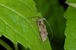 Cerambycidae - 16 mm - Talipanan - 23.11.2016