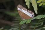 Nymphalidae - Satyrinae - Zethera pimplea - Mâle - 70 à 80 mm envergure - Talipanan - 24.11.2016