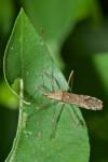Coreidae - Hydarinae - Hydarini sp - 9 mm - Talipanan - 24.11.2016