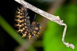 Nymphalidae ? - 40 mm - Puraran - Catanduanes - 23.12.2016