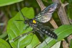 Scoliidae - 45 à 50 mm - Puraran - Catanduanes - 24.12.2016