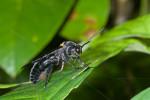Scoliidae - 45 à 50 mm - Puraran - 24.12.2016