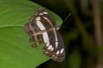 Nymphalidae - Limenitidinae - Neptis mindorana - 60 mm - Puraran - Catanduanes - 23.12.2016