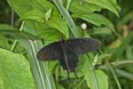 Papilionidae - Pachliopta kotzebuea - 70 mm environ - Puraran - Catanduanes - 23.12.2016