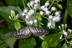 Nymphalidae - Ideopsis -  Ideopsis juventa - 70 mm - Puraran - 23.12.2016