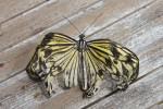 Nymphalidae - Danainae - Idea leuconoe - 100 mm environ - Puraran - Catanduanes - 26.12.2016