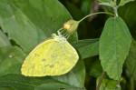 Pieridae - Eurema blanda - 30 mm - Puraran - Catanduanes - 26.12.2016