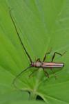 Cerambycidae - Xytrocerini - Xystrocera globosa - 20 mm - Puerto Princessa - Palawan - 9.2.2014
