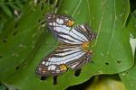 Nymphalidae - Cyrestis - Cyrestis maenalis - 65 mm envergure - Puraran - 2.12.2016