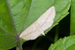 Geometridae - Scopula emissaria - 18 mm envergure - Puraran - 2.12.2016