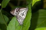 Nymphalidae - Danaus -  Danaus melanippus - 60 mm envergure - Puraran - 2.12.2016