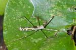 Reduviidae - Emesinae - 17 mm - Puraran - 3.12.2016
