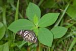 Nymphalidae - Danainae - Danaus melanippus70 à 75 mm envergure - Puraran - 3.12.2016