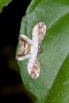 Uranidae- Epipleminae - Europlema semibrunnea - 17 mm envergure - Puraran - 3.12.2016