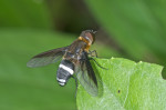 Bombylidae - Lygira sp - 11 à 12 mm - Puraran - 4.12.2016