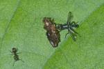 Platystomatidae - Plagiostenopterina sp - 7 à 8 mm - Puraran - 5.12.2016