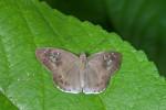 Hesperiidae - Tagiades japetus - 35 mm envergure - Puraran - 5.12.2016