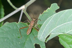 Alydidae - 12 mm - Bulabog Putian - 25.1.2017
