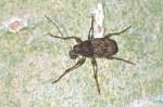 Attelabidae  - 8 à 9 mm - Bulabog Putian - 26.1.2017