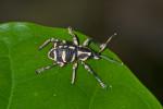 Curculionidae - 10 mm - Bulabog Putian - 26.1.2017
