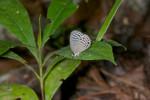 Lycaenidae - Polyommatinae - Jamides philatus - 25 mm - Bulabog Putian - 26.1.2017