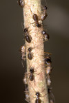Termitidae - 3 mm - Bulabog Putian - 28.1.17