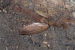 Blatellidae - 27 mm - Bulabog Putian - 29.1.2017