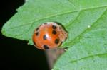 Coccinellidae - 6 mm - Bulabog Putian - 29.1.17