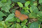 Nymphalidae - Nymphalinae - Junonia hedonia - 70 mm environ - Bulabog Putian - 29.1.2017