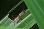 Reduviidae - 10 mm - Guimaras - 2.2.2017
