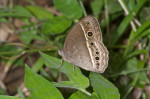 Nymphalidae - Satyrinae - Mycalesis igoleta - 35 mm - Guimaras - 1.2.2017