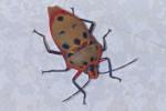 Scutelleridae - Cantao ocellatus - 17 à 18 mm - Guimaras - 2.2.2017