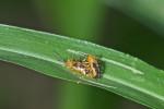 Chrysomelidae - 2 à 3 mm - Guimaras - 2.2.2017
