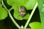 Tessaratomidae - 7 mm - Guimaras - 3.2.2017