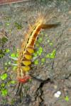Erebidae - 30 mm - Guimaras - 3.2.2017