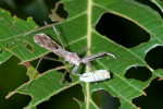 Reduviidae - Emesinae - 15 mm - Guimaras - 4.2.2017