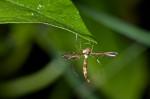Pteriphoridae - Ochyroticinae - Platyptilia sp - 15 mm - Guimaras - 2017