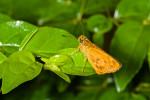 Hesperiidae - Hesperiinae - Oriens gola20 mm - Guimaras - 4.2.2017