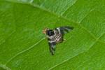 Tephritidae - Dacinae - Ceratitis capitata - 3 à 4 mm - Guimaras - 4.2.2017