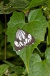 Erebidae - Arctiinae - Nyctemera coleta - 30 mm - Kaanlaon - 7.2.2017