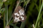 Erebidae - Arctiinae - Nyctemera lustuosa - 40 mm - Kanlaon - 8.2.2017