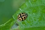 Coccinellidae - 5 mm - Puraran - 23.2.2017