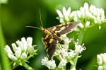 Crambidae - Spilomelinae - Omiodes diemenalis - 18 mm - Puraran - 23.2.2017