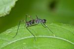 Micropezidae - 10 mm - Puraran - 24.2.2017